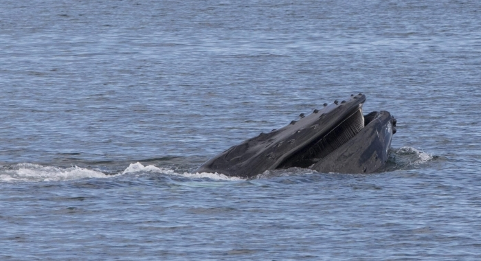 270718 open mouth humpback 3