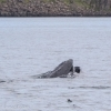 270718 open mouth humpback