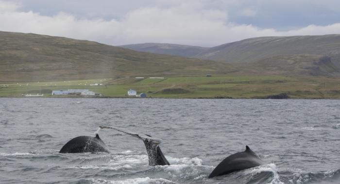 270818 3 humpbacks