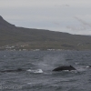 270818 3 humpbacks pm