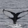 270818 humpback ID