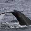 270818 humpback fluke
