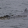 280718 humpback playing in sea weed