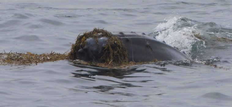 The humpbacks of Hólmavík