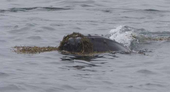 280718 humpback playing in sea weed!