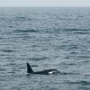 2907 orca portrait