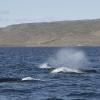 290818 3 humpbacks_