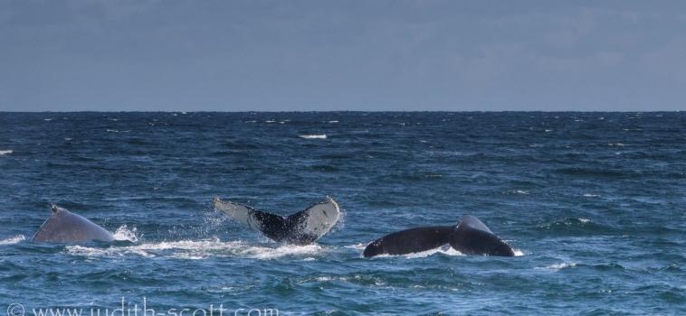 29/08/2018: Three species on both tours out of Ólafsvík and Hólmavík