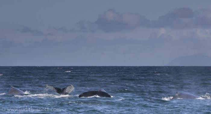 290818 4 humpbacks pano