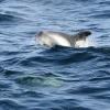 290818 dolphin Olafsvik