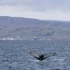290818 humpback with Holmavik
