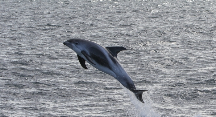 290818 leaping dolphin