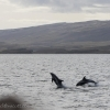 290818 leaping dolphins