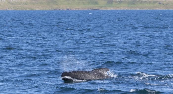 290818 pilot whale Holmavik