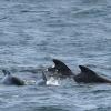 290818 pilot whales Olafsvik 2