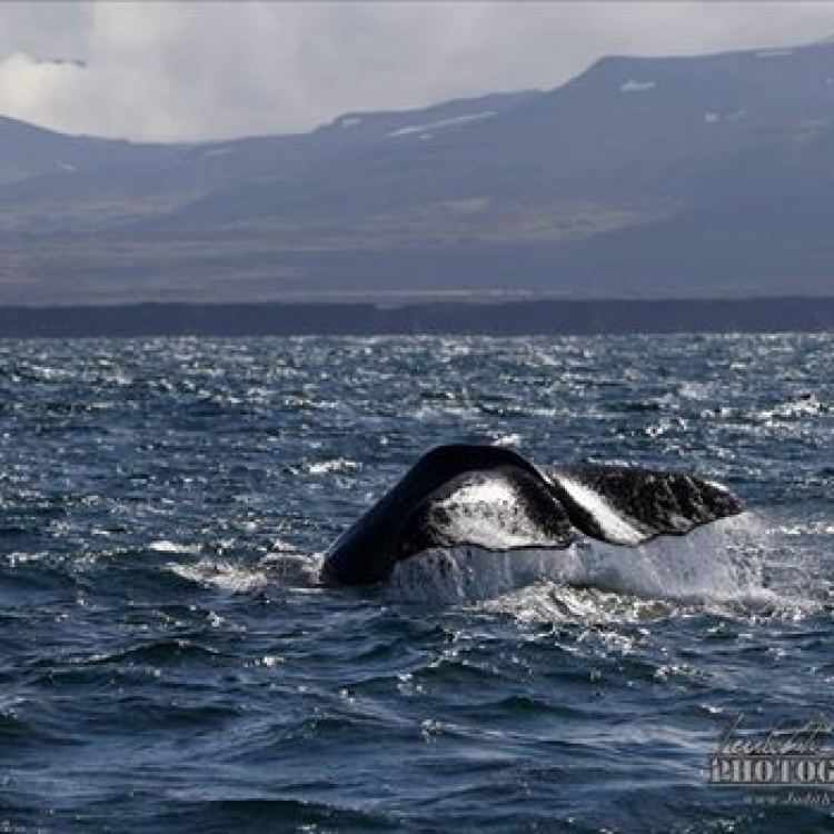 sperm whale watching iceland