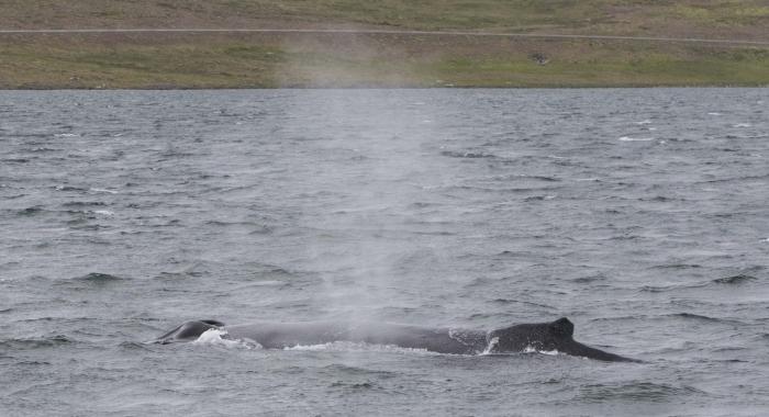 300718 humpback whale blow