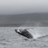 300718 humpback whale breach