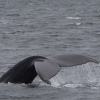 300718 humpback whale tail