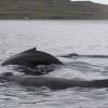 300818 3 close humpbacks