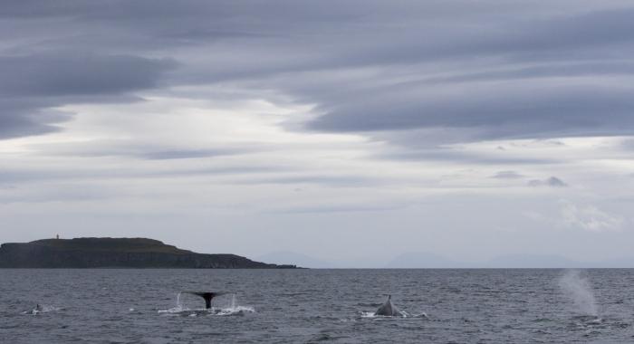300818 4 humpbacks