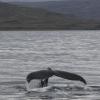 300818 humpback tail