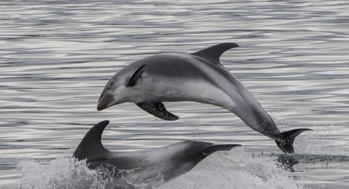 300818 leaping dolphins 2