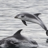 leaping dolphins in snaefellsnes