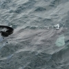 3107 basking shark