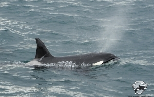 Icelandic Orca Facts – Orca Guardians Answers Questions about Orcas in Iceland