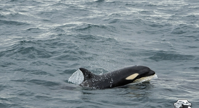 3107 young orca
