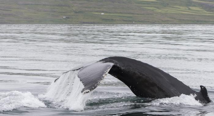 310718 big humpback fluke