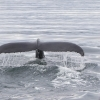 310718 close humpback fluke