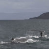 310818 2 humpbacks