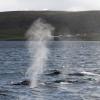 310818 humpback blow