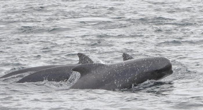 310818 pilot whale face