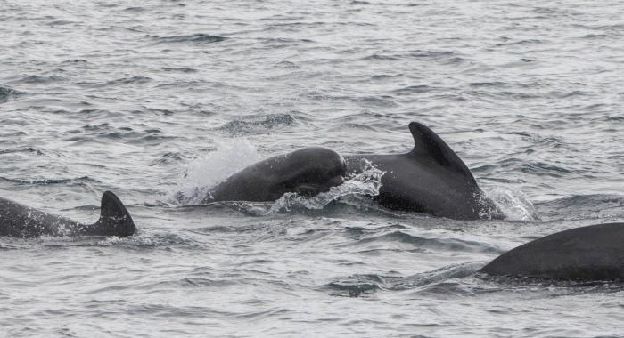 310818 pilot whales