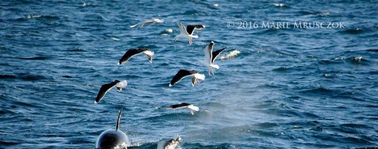 Orcas again!