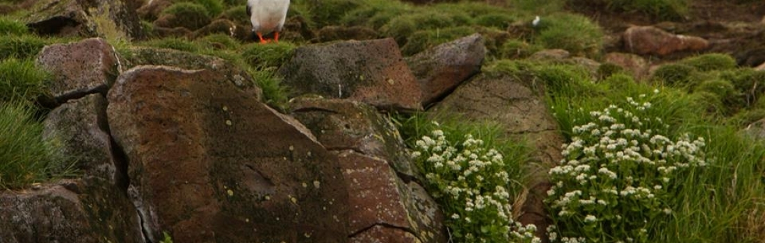 Hundreds of puffins and stunning views