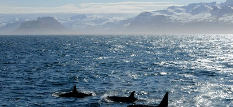 We are seeing so many little orca babies at the moment.