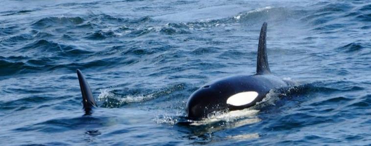 Orcas feeding underneath a group of gannets