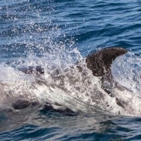 Snaefellsnes Whale Watching in September – Report from Sept 23