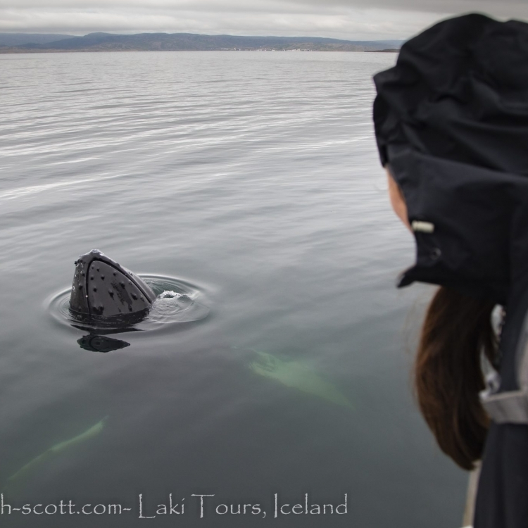 Hmpback whale, Laki Tours, Holmavik, Westfjords, Iceland, whale watching