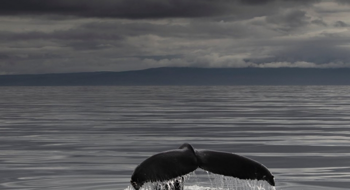 Holmavik whale watching in September