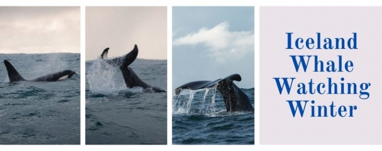 Whale Watching Iceland Winter 2020