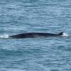 Minke whale - whale watching in snaefellsnes