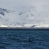 Orca Watching Iceland March