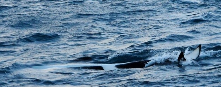 Snaefellsnes Orca Watching in January – Report from January 23