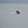 Sperm whale social