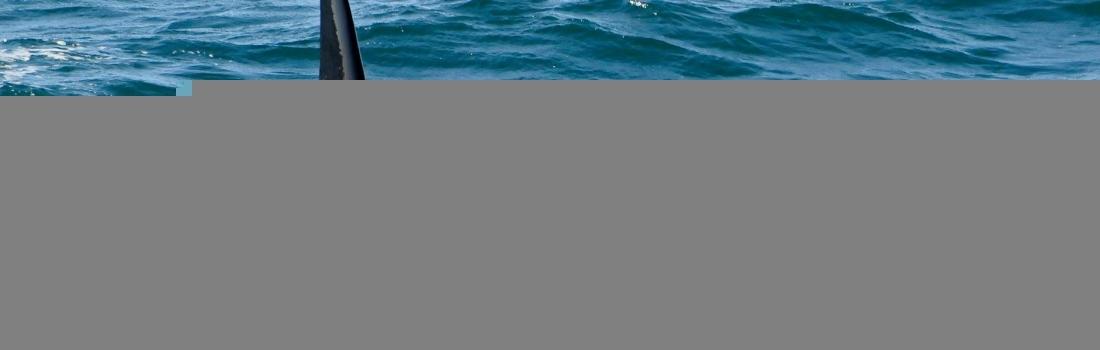 Orcas beobachten Island – Orcas Island beste Zeit und bester Ort